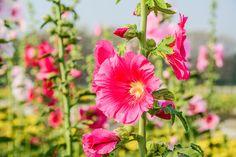 Stockrosen im Kübel halten – Blumenpracht für Garten und Terrasse