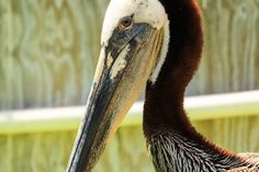 International Bird Rescue – Every Bird Matters» Blog Archive » Pink the Pelican scheduled for release