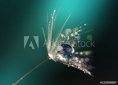Beautiful dew drops on a dandelion seed macro.  Beautiful blue background. Large golden dew drops on a parachute dandelion. Soft dreamy tender artistic image form. - Acheter cette photo libre de droit et découvrir des images similaires sur Adobe Stock