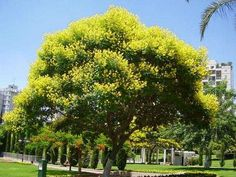Ibira-pita (Peltophorum dubium) - One of the most vibrant colors is yellow and this tree with yellow flowers will certainly brighten your day. It is known as the Ibira-pita in Argentina. In Uruguay it is called Arbol de Artigas and in Brazil it's Cana-fístula.