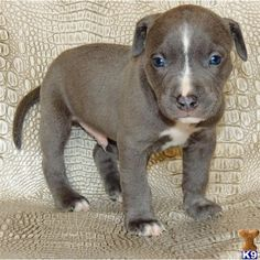 NEFERTITI ~ SOLID BLUE / BLUE NOSE PIT BULL PUPPIES FOR SALE / NOW... ❤ liked on Polyvore