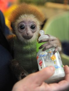 """Gulping gibbon - A zoo keeper feeds a three-month-old white-handed gibbon named ""Knuppy"" at the zoo in the northern German city of Bremen on April 9. The animals are found in Indonesia, Laos, Malaysia, Myanmar and Thailand."" ~MSN"