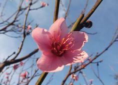 o milagre da flor de pessegueiro