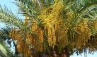 How to Grow Date Trees From a Seed   eHow