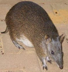 Southern Brown Bandicoot. Bandicoots hop around like Kangaroos on their larger hind legs though they are much smaller ranging from 6 inches to 22 inches in length  .... Info BANDICOOTS .... http://members.optusnet.com.au/~alreadman/bandi.htm