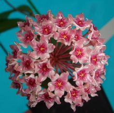 Hoya paulshirleyi $$$$ SRQ 3041 Hoya sp. IPPS-8845 - $20.00 : Hoya Plants and Cuttings