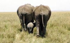 Elephant Family - Out for a Stroll