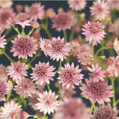 """Staude som først danner en tett pen tue med bladverk før den i juni-juli begynner å blomstre med vakre """"nåleputeformete skjermer"""" i rosa-lilla-hvite nyanser. Tåler godt å stå i fuktig jord. Rådyrsikker. ..."""