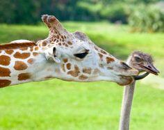 prevnext Jirafa y avestruz (Giraffa camelopardalis y Struthio camelu