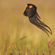 Photo Widowbird in environment by Stephen Earle on South African Birds, Especie Animal, Crazy Bird, All Birds, Bird Pictures, Nature Images, Beautiful Birds, Pretty Birds, Bird Watching