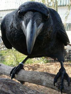 Raven up close Photo byParuula