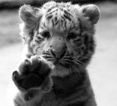 awwwwwww!! not sure if it's a baby black tiger or just a black and white photo of a regular tiger...either way it's adorable!