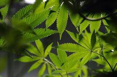 Golden City Council votes to ban marijuana sales | #denverpost | #marijuana #sales #laws #ordinances #bans #localgov #colorado #golden #cities