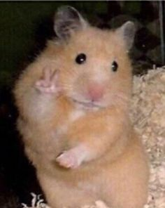 Psa we might switch this account to obscure memes. hamster memes are kinda hard to find. our goal is to grow our fan base. thank y'all who stayed with us this entire time :') ily 💕——- 🐀 Baby Animals Pictures, Cute Animal Photos, Funny Animal Pictures, Cute Pictures, Funny Animal Jokes, Cute Funny Animals, Funny Profile, Funny Hamsters, Cute Cat Wallpaper