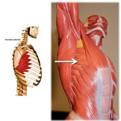 Serratus anterior: ribs 1 to 8, midway between angles and costal cartilage (origin) entire medial border of scapula (insertion). Lateral rotation & protracts scapula, raises shoulder