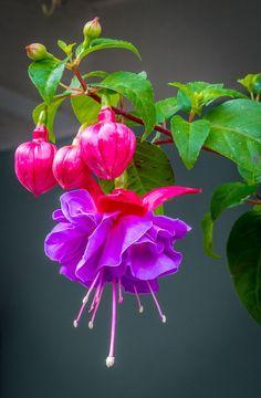 ✿⊱❥ Brinco de princesa (fuchsia hybrida)
