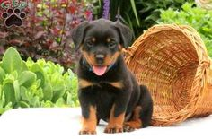 Are you looking for a Rottie puppy who will make a wonderful pet for your family? Look no further because Sparky is family raised and is just so adorable. He looks like one, big teddy bear! Along with being vet checked, this fella is vaccination and wormer up to date and health guaranteed for 30 days by the breeder. Sparky can also be registered with ACA! Please feel free to contact the breeder if you are interested in this handsome fella! •Sire is a Siberian Import, comes from Champion…