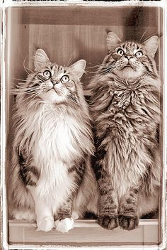 Maine Coon Cats  ~