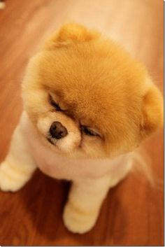 Boo sleeping while sitting up. This freaking Dog is so cute! I even like it's fb page for crying out loud! Boo The Cutest Dog, World Cutest Dog, Cutest Puppy Ever, Animals And Pets, Baby Animals, Really Cute Dogs, Fierce Animals, Fluffy Dogs, Grumpy Cat