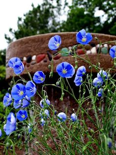 Blue flax is a wonderful low water use plant that works really well with the brown and neutral tones that are commonly used in Southwest yards and landscapes. It is a heavy self seeder that produces incredible mass plantings of electric blue color in the Blue Garden, Dream Garden, Water Plants, Garden Plants, Arizona Gardening, Desert Gardening, Outdoor Landscaping, Arizona Landscaping, Landscaping Plants