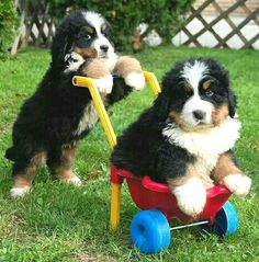 Too cute! Berner puppies