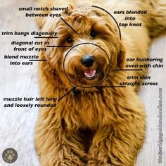 Teddy Bear Goldendoodle, Goldendoodle Haircuts, Dog Haircuts, Havanese Dogs, Goldendoodles, Labradoodles, English Goldendoodle, Teddy Bear Dogs, Teddy Bears