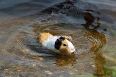 This guinea pig enjoys swimming.
