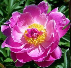 Magnificent Peony by Caren Grant