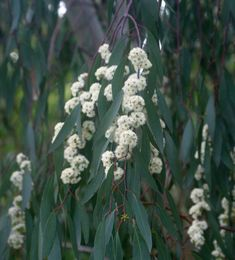 Eucalyptus pauciflora is one of the natives featured in our Australian Native Garden, Australian Plants, Australian Bush, Driveway Landscaping, Landscaping Tips, Trees And Shrubs, Flowering Trees, Eucalyptus Species, Fall Plants