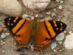 Hypanartia lethe   by LPJC