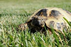 I have seen numerous suggestions for Russian tortoise diet Some great Some awful. Russian Tortoises are nibblers and appreciate broad leaf plants. Tortoise As Pets, Tortoise Food, Tortoise Care, Sulcata Tortoise, Russian Tortoise, Tortoises, Find Pets, Animal House, Pet Care