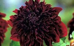 Soulman Powder-Puff Dahlia - 1 Tuber - Rich Maroon! $7.99  Giant Powder-Puff. Rich maroon, deep ruffled center. 4-6 flowers. Height: 40. Loves the sun. Great cut flower. Blooms August until the frosts in the fall.  Rich Maroon, deep ruffled center. Dahlias are amongst the easiest plants to grow in the garden.  Dahlias are hardy in zones 8 -10.