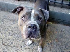 TO BE DESTROYED 10/9/14 Manhattan Center -P  My name is MAGIC. My Animal ID # is A1014777. I am a neutered male gray and white pit bull mix. The shelter thinks I am about 4 YEARS old.  I came in the shelter as a STRAY on 09/21/2014 from NY 10453, owner surrender reason stated was STRAY.