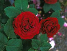 Rose 'Souvenir du Docteur Jamain'. A rare thing - a rose that does better in some shade.