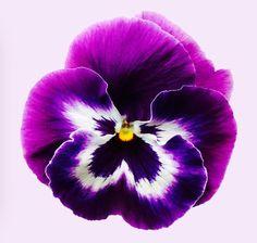 http://fineartamerica.com/featured/purple-pansy-sarah-couzens.html