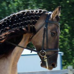 Here is my lovely Phoenix Rising at our last Dressage & CT show. I thought this was a good way to keep his mane down but still show that I worked to make him look good. :)