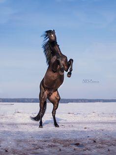 stallion Bazalt - Black horse by Victoriya Bondarenko