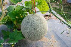 Honigmelone anbauen