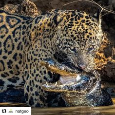 El atractivo de lo salvaje  #Repost @natgeo  @stevewinterphoto @natgeo  I am excited to bring my NG LIVE presentation On the Trail of Big Cats to @natgeos Grosvenor Theater in Washington DC on April 13th!  Please come to hear about my life and work with Jaguars Snow Leopards Cougars and Tigers!! Scarface succeeds after many days and gets his caiman!! We need to realize deep in our hearts that animals have emotions too. If we can treat them better - maybe we could find some empathy inside of…