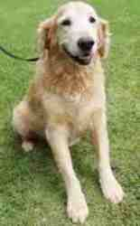 No longer available. Fiona is an adoptable Golden Retriever Dog in Oxford, MS. Fiona was found in the Walmart parking lot in Oxford, and we thought for sure that someone would come to our shelter looking for her! But we h...