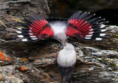 The wallcreeper (Tichodroma muraria) is a small passerine bird found throughout the high mountains of Eurasia.