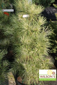 Dragon's Eye Pine - This pine's needles are marked with bands of yellow and green. The buttery yellow variegation on the 3- to 5-inch needles is present year-round, but intensifies as summer turns to fall and persists into winter.