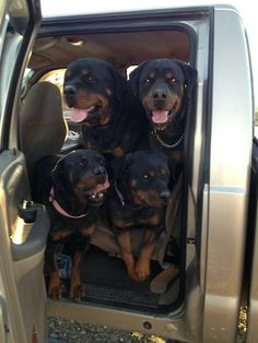 #Rottweilers