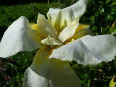 White bearded iris in bloom Oct2016 :)