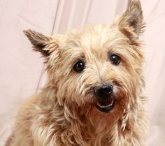 Chelsea Cairn Terrier is an adoptable Cairn Terrier Dog in Cabool, MO. Chelsea Cairn terrier Cairn terrier Adult Female Small Approximate birthdate: 2/17/08 Weight: 13 pounds Adoption fee: $195   ...