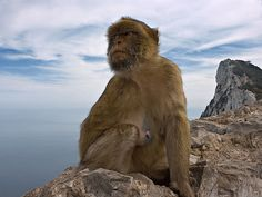 Stand Upon the Rock of Gibraltar.  Photo Ape on Gibraltar by ForsterFoto (on Flickr)