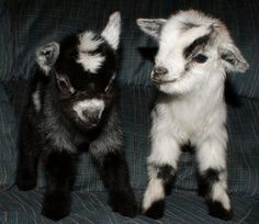 I want a baby goat now, thanks! These guys look like stuffed animals! Beanie baby goats!