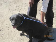 Meet Tish, a Petfinder adoptable Labrador Retriever Dog   Raeford, NC   Our organization offers 24PetWatch microchips, which include free registration into the 24PetWatch...