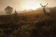 majestic stag - Google Search