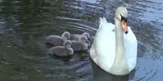 みんなママが大好き お母さんの背中にみんなで乗り込む白鳥の赤ちゃん - http://naniomo.com/archives/8150